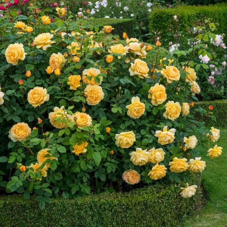 Троянда Golden Celebration має не тільки прекрасний аромат, а ще облитий квітами кущ мінімум двічі за сезон, купу пелюсток і неперевершений вигляд в саду