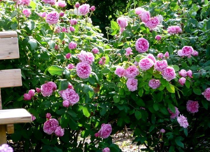 Старовинна троянда Comte de Chambord — ідеальна для варення