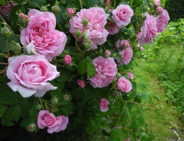 Старовинна троянда Ispahan