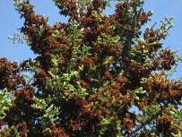 pine cones bursting