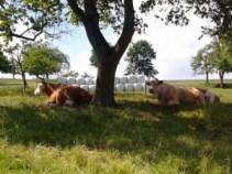 Auf dem Zeltnerhof machen auch Kühe Ferien auf dem Bauernhof