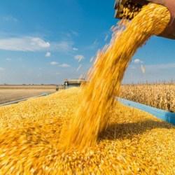 фуражна царевица