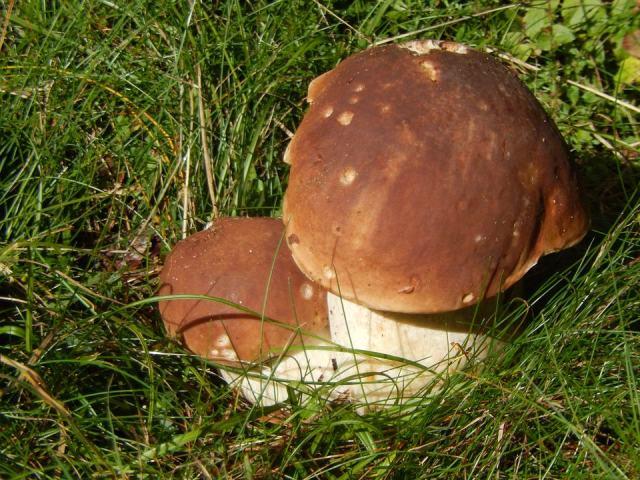 funghi ripieni
