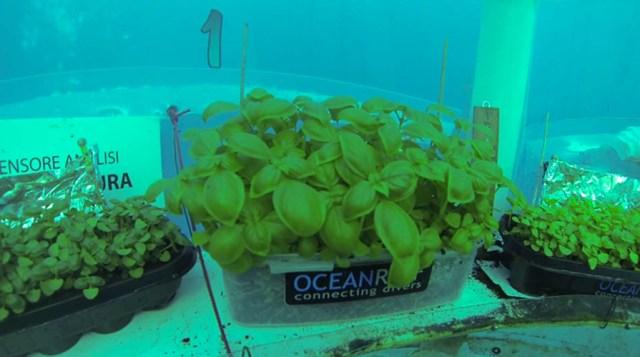 noli: basilico sottomarino