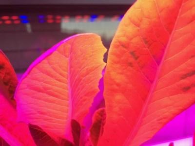 Romaine Lettuce Under LED