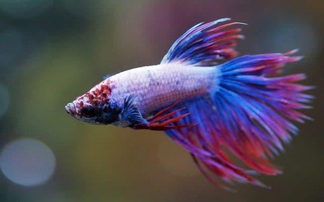 11 Betta Fish Facts (#9 will surprise you) – ZenAquaria