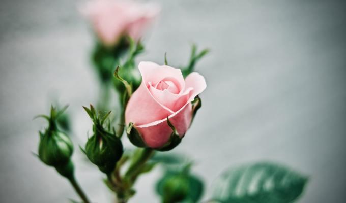 Prepoznati ljepotu: Putovanje jedne ruže
