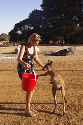 Wildlife volunteer Australia: Kangaroo island
