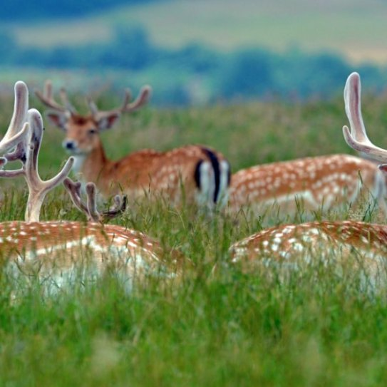1431756489051-deer-dyrham-park-barry-batchelor-web