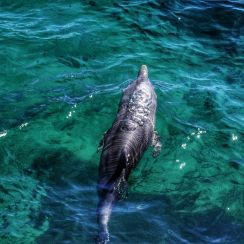 Swimming with wild dolphins Australia