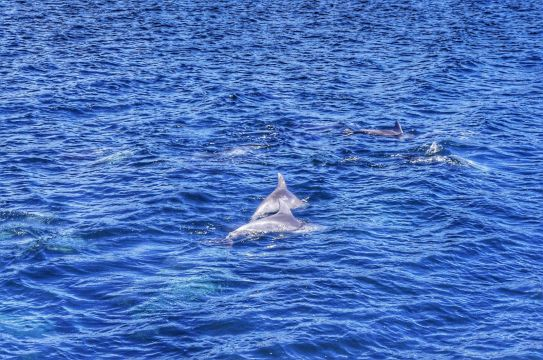 Wild dolphins playing