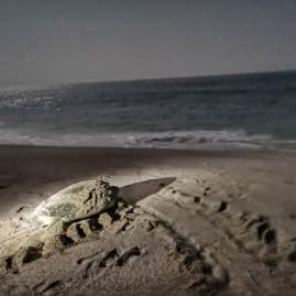 Turtle beach Oman Ras Al Jinz Oman