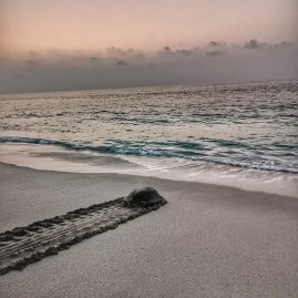 Ras Al Jinz retreat Oman - mother turtle heading back to the sea after laying eggs