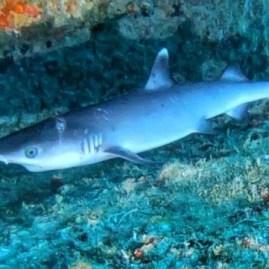 Baby shark Mahe Seychelles