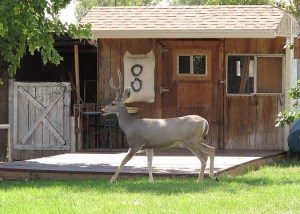 When I came home this buck was wandering through my yard. Notice the archery target behind its head!