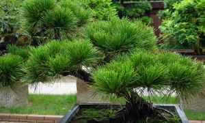 Pinene Terpene tree