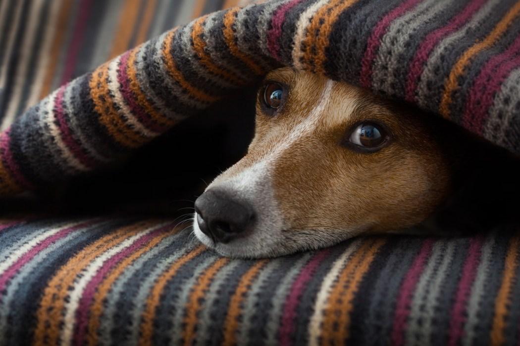 Hund versteckt sich unter Decke
