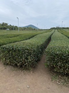 Tea plantation at Innisfree Jeju House
