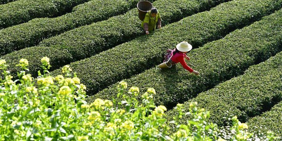 Foto e ditës : Fermerë duke mbledhur  gjethe çaji në një fshat  të Kinës qendrore