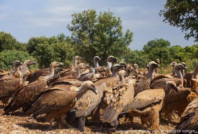 Enterramento de animais mortos em áreas remotas pode não ajudar aves necrófagas e aumenta os riscos para a saúde pública