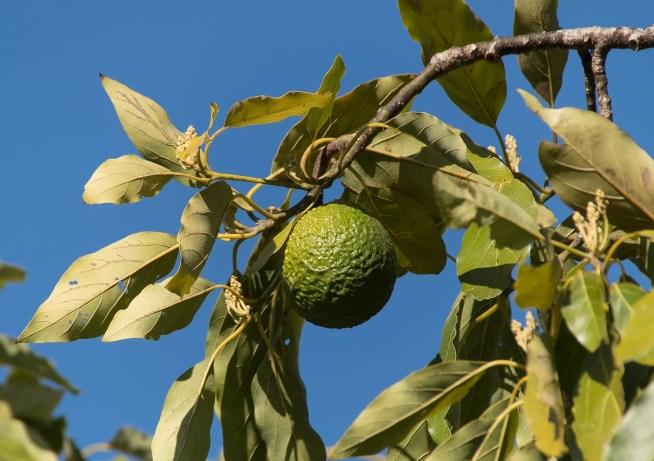 Projeto agrícola de produção de abacates é insustentável e viola regras de ordenamento do território