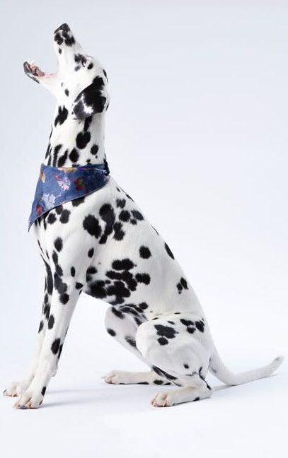 dalmatian sitting white surface