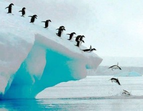 jump of a penguin into the sea