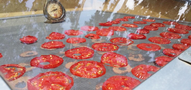 tomatoes in solar dehydrator