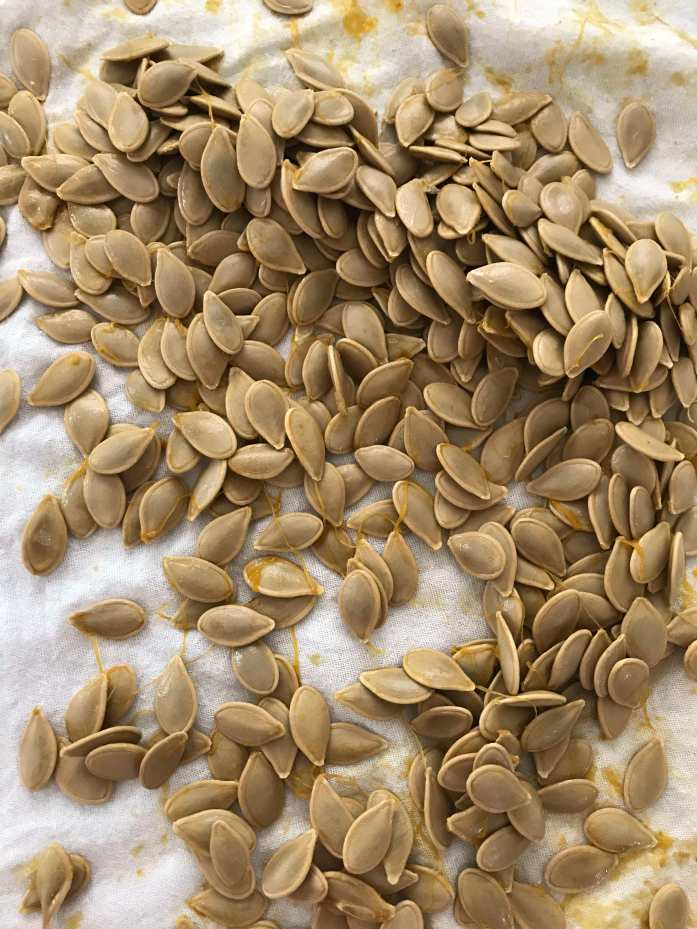 raw pumpkin seeds from a fresh pie pumpkin