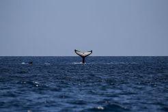 whale-1118876__480