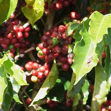 Evolve Back Coffee Plantation Coorg