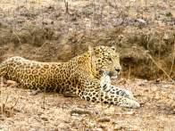 Leopard spotting at Nagarhole national park