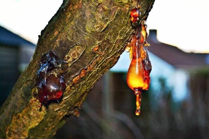 DOBAR SAVJET: Kako očistiti smolu od drveća s odjeće, tijela, kose...