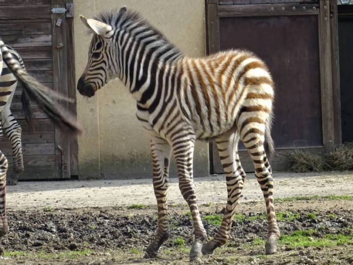 NOVI STANOVNIK ZOOLOŠKOG VRTA: Obitelj zebri dobila neodoljivo prugasto mladunče [FOTO]