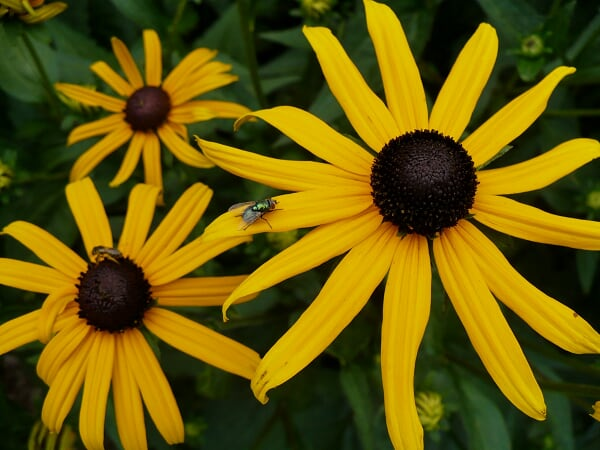 Black-eyed Susans & fly, July 29, 2009 (Click on photo to go through to my summer garden slideshow)