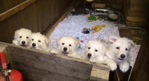 Puppies Zetetick