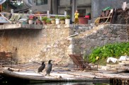 These birds are trained to catch fish for their owner. They just sit and wait outside the house for him