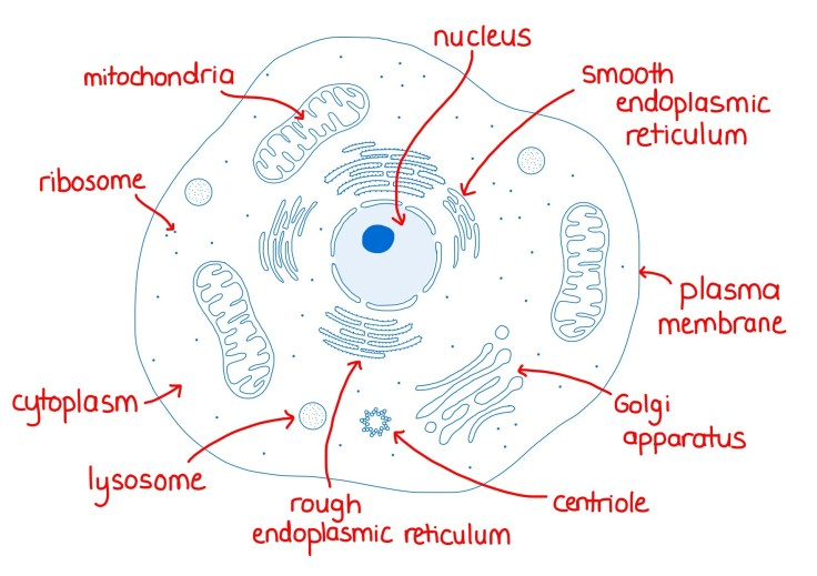 Labelled diagram of an animal cell for A-Level biology.