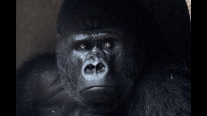 Gorila Massa
