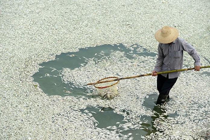 Pești uciși de poluarea în râul Fuhe