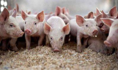 Atenționare pentru crescătorii de porcine din municipiul Deva. Valabil și pentru cei din alte localități hunedorene !