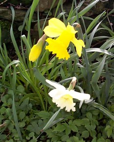 Cluster of fresh yellow and variegated spring daffodils or narcissus growing outdoors in a garden or woodland, high angle view of the flowers