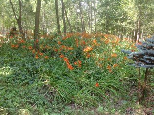 img_1079 Ogród w lesie. Sumin