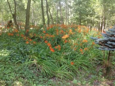 img_1079 Ogród w lesie - Sumin