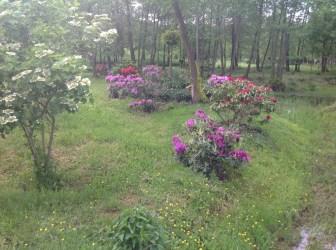 img_2206 Rhododenrony i Azalie - co robić by pięknie kwitły.