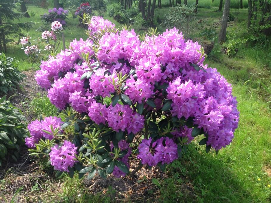 img_2213 Rododenrony i azalie - co robić, aby pięknie kwitły