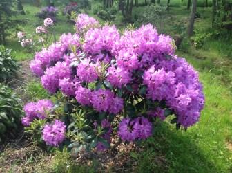 img_2213 Rhododenrony iAzalie - co robić bypięknie kwitły.