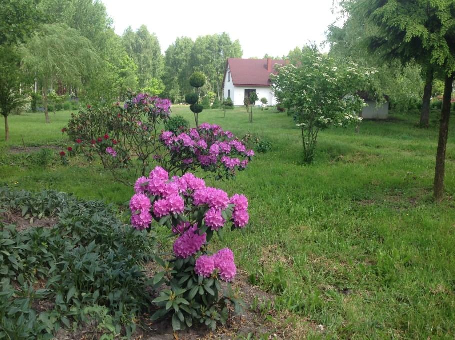 img_2218 Rododenrony i azalie - co robić, aby pięknie kwitły