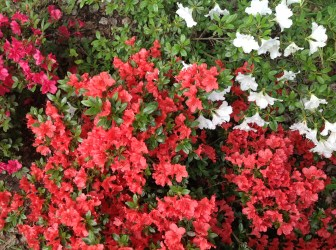 img_2263 Rhododenrony iAzalie - co robić bypięknie kwitły.