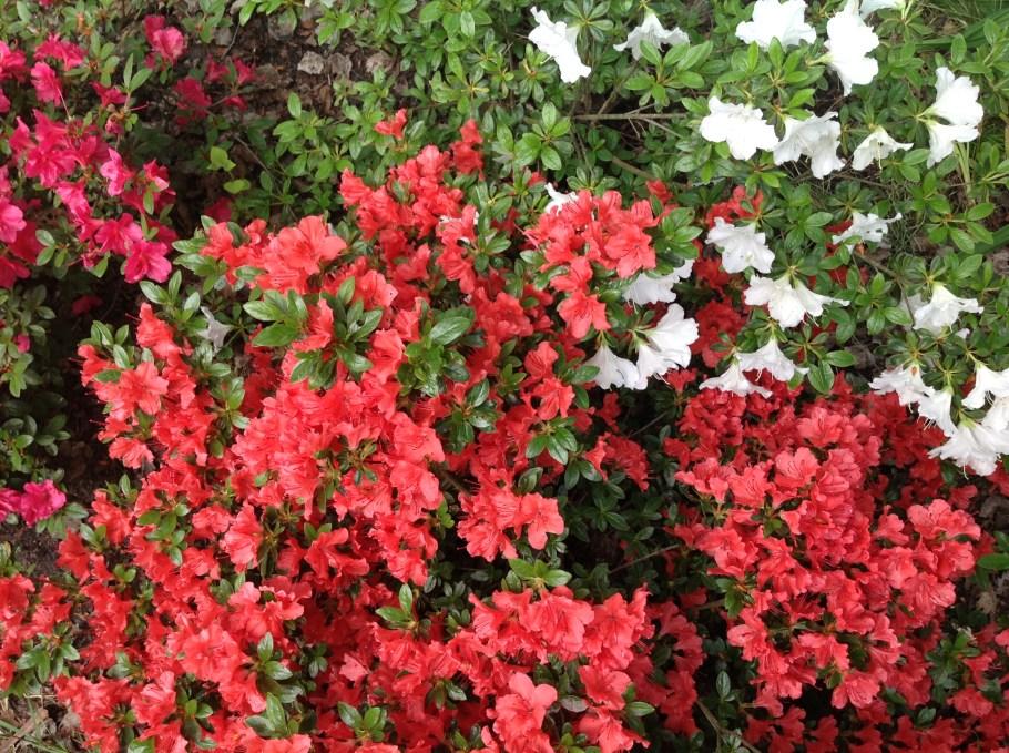 img_2263 Rododenrony iazalie - co robić, aby pięknie kwitły